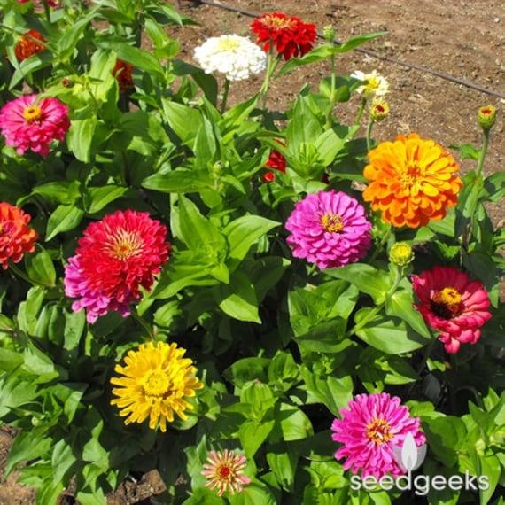 California Giants Mixed Colors Non-GMO Zinna FLOWER 200 SEEDS Heirloom