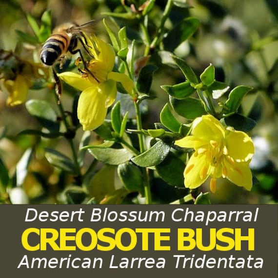 DESERT BLOSSUM CREOSOTE Bush, Larrea Tridentata, Raw Wildcrafted, Washed,  Dried 1/2lb, Chaparral, Hediondilla, Healing Herb, Wild Herbs