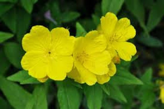 Evening primrose seeds oenothera biennis yellow flower etsy image 0 mightylinksfo