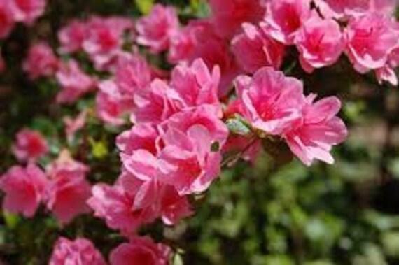 Pink royal azalea seeds rhododendron schlippenbachii shrub etsy image 0 mightylinksfo