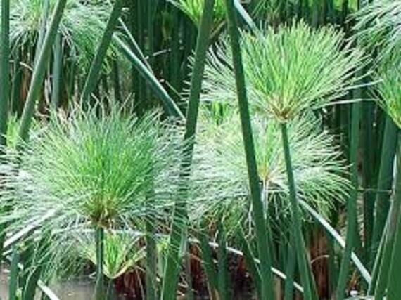 Graines De Papyrus King Tut Cyperus Famille Sensation Zen Plante Aquatique Peut être Cultivée Dans Une Plante Tropicale De Pot étang Marginal