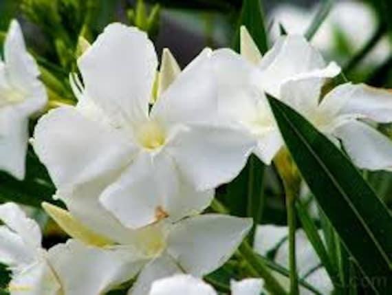 White oleander seeds nerium oleander shrub tree seeds etsy image 0 mightylinksfo