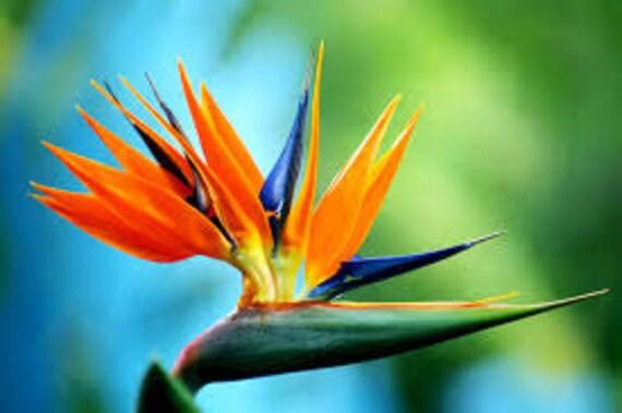 graines oiseau du paradis strelitzia reginae plante etsy. Black Bedroom Furniture Sets. Home Design Ideas