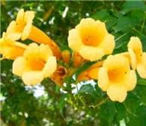 Yellow trumpet vine seeds campsis radicans bright yellow etsy image 0 mightylinksfo