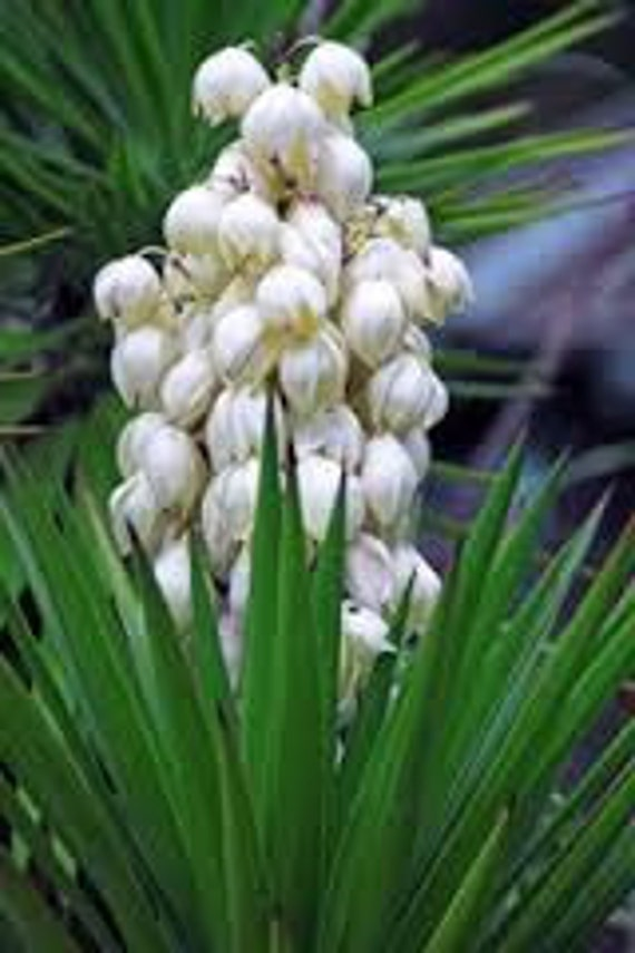 Yucca seeds succulent plant perennial spike with white etsy image 0 mightylinksfo