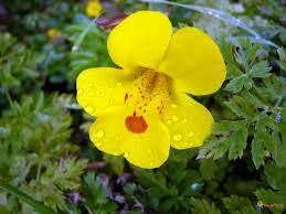 Mimulus guttatus seeds yellow monkey flower seep etsy zoom mightylinksfo