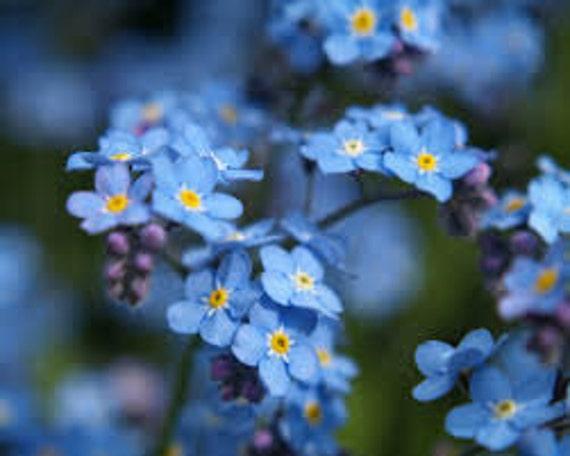 RARE INDIGO FORGET-ME-NOT 60 PERENNIAL FLOWER SEEDS