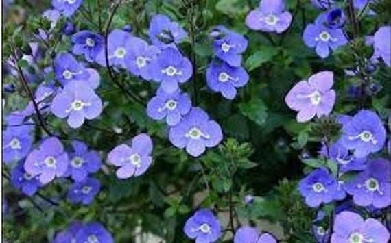 Creeping blue speedwell seeds veronica repens fairy garden etsy image 0 mightylinksfo