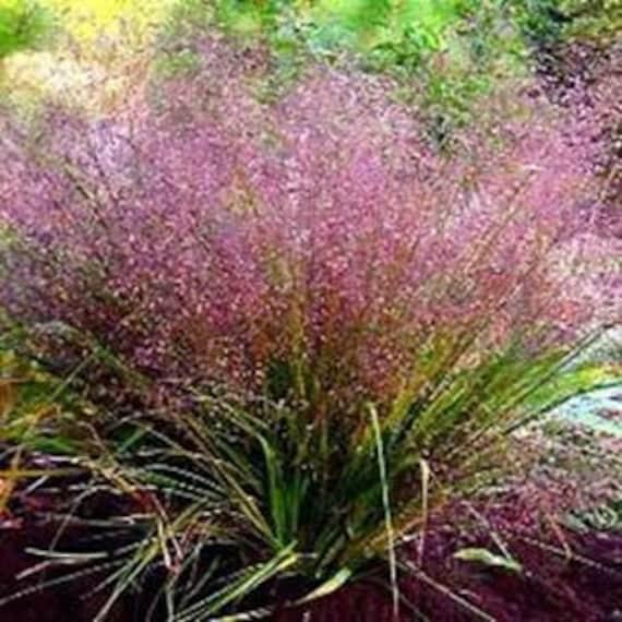 Purple Love Grass Seeds Eragrostis Spectabilis Perennial Etsy
