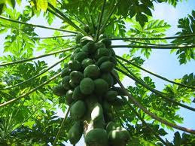 Mexican Papaya Seeds Fresh And Organic Large Fruit Carica Etsy