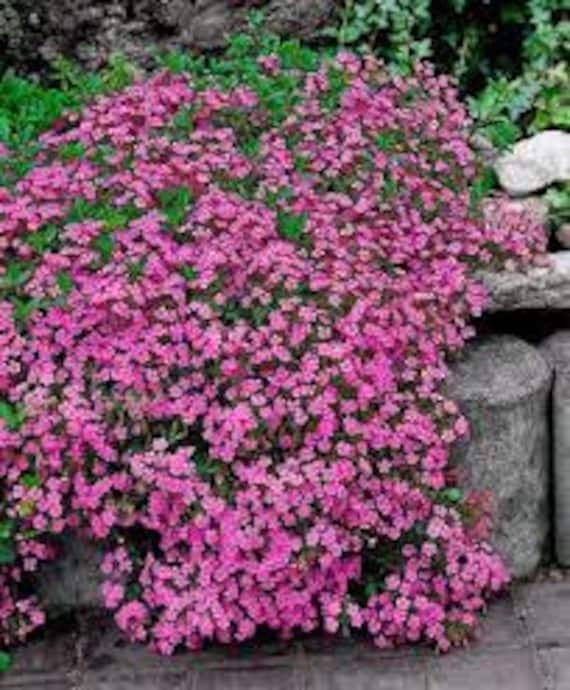 Rock soapwort seeds saponaria ocymoides rose pink flowers etsy image 0 mightylinksfo