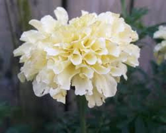 White African Marigold Seeds Tagetes Annual Flower Large Etsy