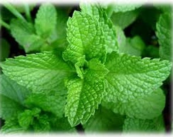 Mojito Mint Seeds, Mentha x villosa, Perennial Plant, Culinary Herb, Medicinal Herb, Beverage Mint