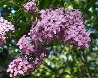 Lilac Bush Seeds, Syringa oblata, Purple Flowers, Perennial Plant, Shrub, Fragrant Flower