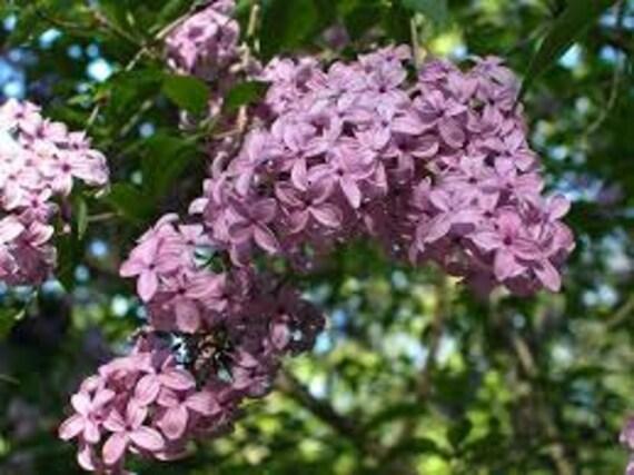 Lilac bush seeds syringa oblata purple flowers perennial etsy image 0 mightylinksfo