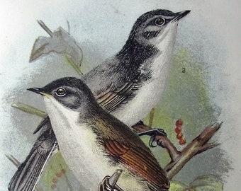 1896 - WHITETHROAT  Bird - Chromolithograph. Print. Original. Antique. Vintage. Ornithology. Natural History. Zoology.
