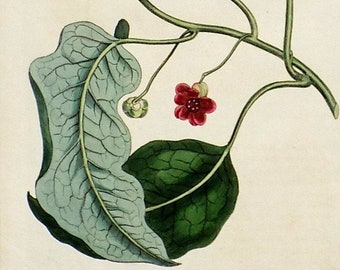 Natural History. CURTIS Botanical Engraving Transparent-Leaved ALOE Original Antique Botanical Print 1811