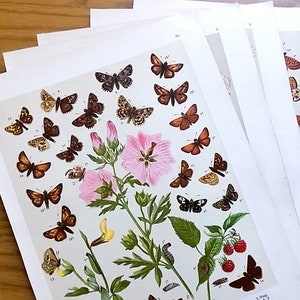 - quarto plate of Butterflies and Moths in full hand colour Natural History. 1842 Friedrich Berge 1811-1883