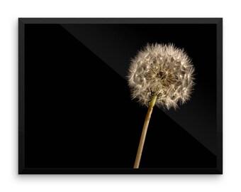 Framed Print - Dandelion Study
