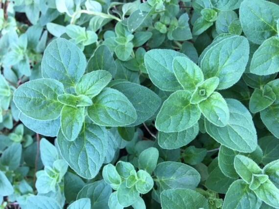 Fresh Organic Oregano Starter Plant Live Plant