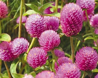 Organic Globe Amaranth Flower Tea