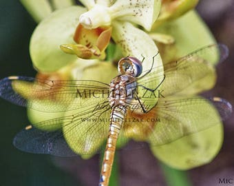 Dragonfly, Photography, Photos, Prints, Photograph, Flowers, Yellow, Orange, Green, Wings, Clear, Christmas, Hanukkah, Purple