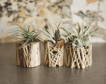 Medium Natural Cholla Air Plant Planter; Planter; Desk Accessory; Desk Planter; Cholla; Bohemian Planter; Desert; Cactus Planter; Tillandsia
