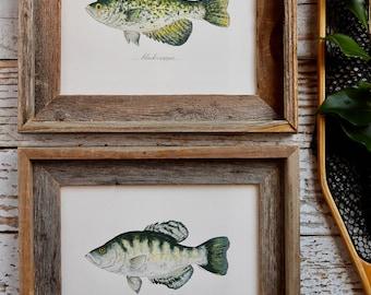 2 PRINTS, Black Crappie and White Crappie, 2 fish prints, 8x10 or 11x14, Cabin, Lake house, Rustic Decor