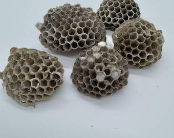 1 12 natural Curiosities 5 bee nest wasp nest Wasp nest curiosity cabinet wasp art natural home decor