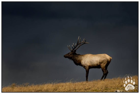 Big Bull Elk Antler Mountain Wildlife Animal Picture Wall Decor Art Print 16x20