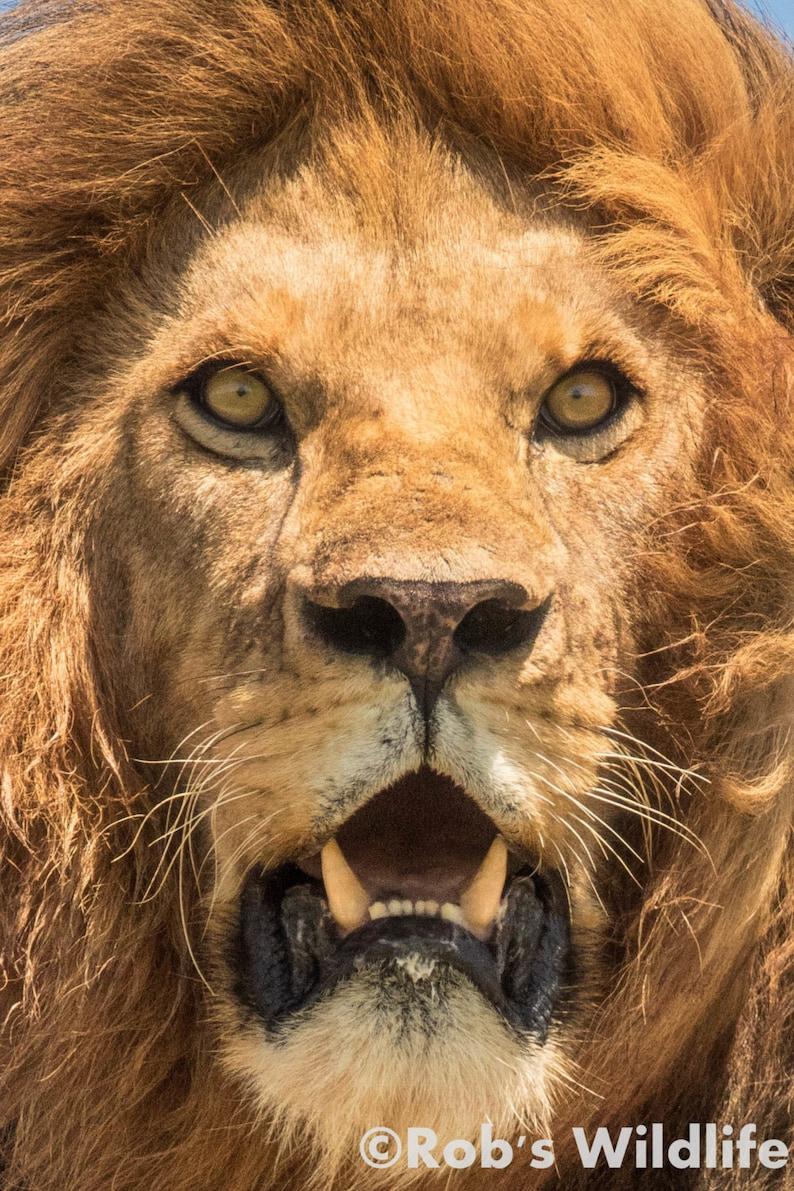 Lion Portrait Photography Print Lion Face Photo Lion Wall Etsy