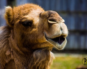 18k Yellow Gold Camel Charm Pendant 750 Single Hump Arabian Dromedary Camel 06725