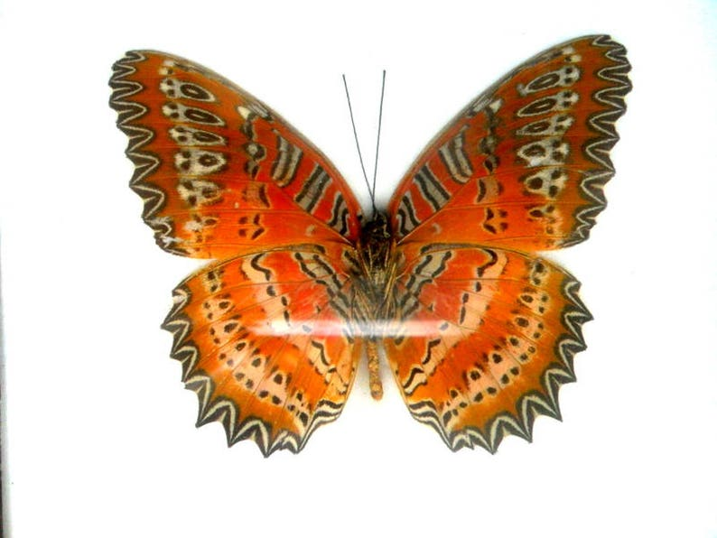 Real framed butterfly Display Rare Insect Taxidermy Real Leopard Lacewing Butterfly Display