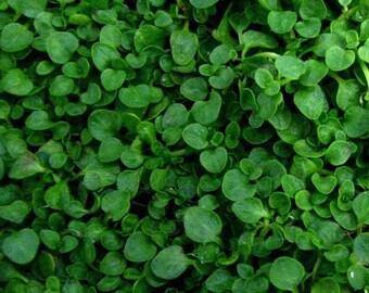 Mentha Requienii - 250 Seeds - Corsican Mint