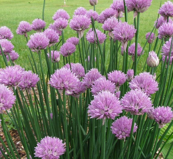 Allium schoenoprasum 250 Organic Chive Purple Flower Heirloom Herb Seeds Hardy