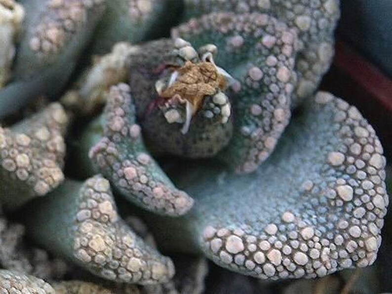 Mesembryanthemum Succulent 100 Seeds Titanopsis Hugo Schlechteri Alboviridis