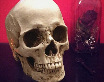 Human skull replica realistic 1:1 scale sculpture lifesize anatomy 'model used for drawing'