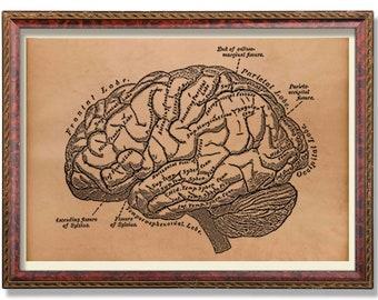 Antique brain print Anatomy decor Anatomical art