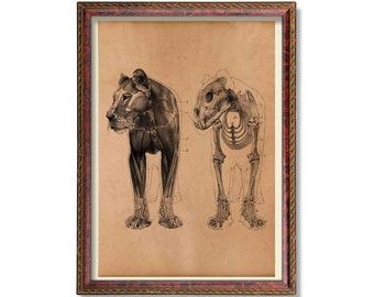 Antique lion anatomy print Animal skeleton poster Medical decoration