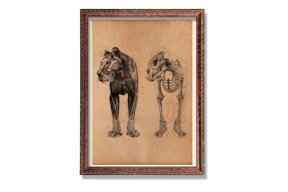 Antique lion anatomy print Animal skeleton poster Medical | Etsy