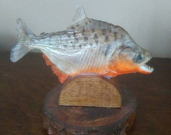 Taxidermy Piranha