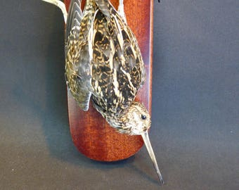TAXIDERMY Snipe (log no:9492) (Gallinago gallinago) A Wall Hanging Mount. Total Height 27cm.