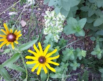 Organic Black Eyed Susan Seeds