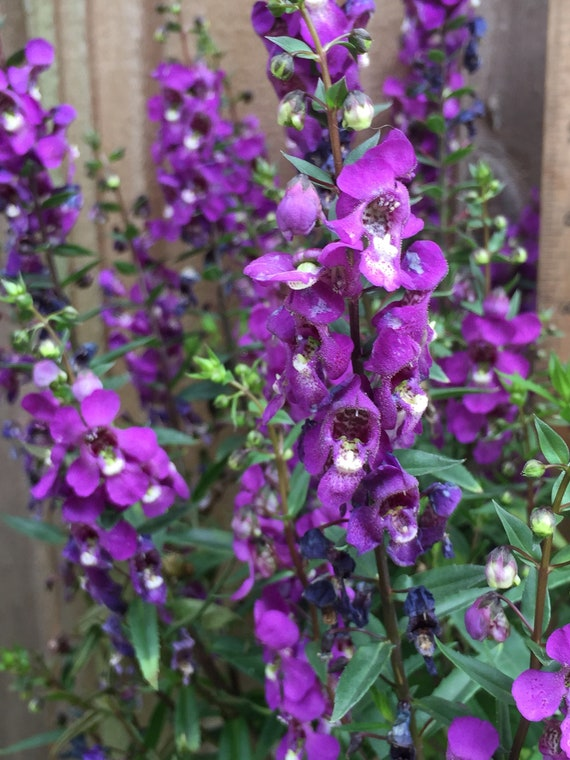 Dark Purple Angelonia Nectar Plant For Butterflies And Bees Etsy