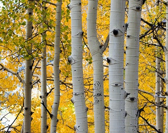 Aspen Trees Photo, Photo of Aspen Trees