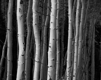 Black and White Photography, Photography of Black and White Aspen Trees