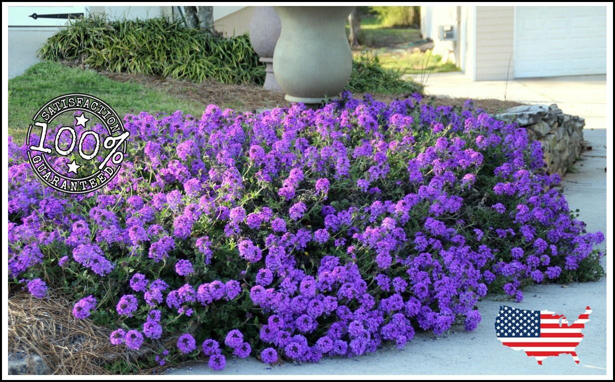 75 Moss Verbena Groundcover Seeds Perennial Purple Etsy
