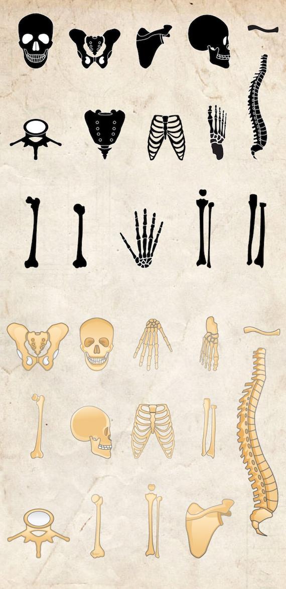 Knochen-ClipArt 29 hochauflösende Png menschlichen Körper | Etsy