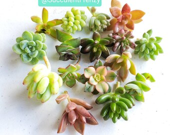 fairy garden unique shower wedding birthday holiday gift Mini Succulent in 1.5 pot with saucer indoor outdoor plant small foliage
