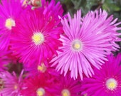10 20 Cuttings PINK HOT PINK Dorotheanthus Bellidiformis Cuttings Ice Plant Ground-cover Hardy Mesembryanthemum